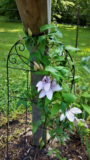 Finally, a clematis that could withstand the harsh elements near the mailbox!